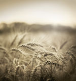 Wheat in early sunset Stock Photography