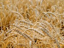 Wheat ears. Royalty Free Stock Image