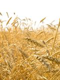 Wheat ears. Stock Photo