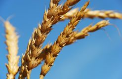 Wheat ears Royalty Free Stock Photos