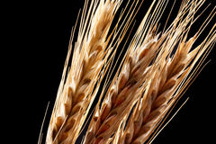 Wheat ears. Close-up view of wheat ears. Isolated on black Royalty Free Stock Photo