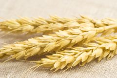 Wheat ears. Wheat yellow ears isolated on texture Royalty Free Stock Image