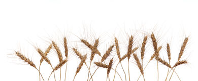 Wheat ears. On  white background Stock Images