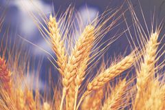 Wheat ears. Against the  blue cloudy sky Stock Photo