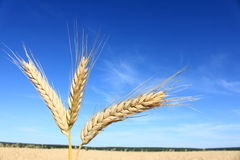 Wheat ears. Against the blue sky Royalty Free Stock Photography