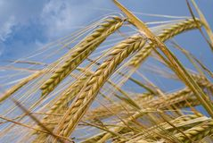 Wheat ears. Against the blue cloudy sky Royalty Free Stock Image