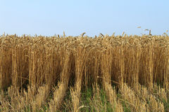 Wheat ears Royalty Free Stock Photo