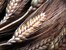 Wheat ears. Some wheat ears Stock Photography