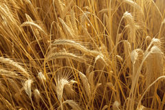 Wheat ears from above Royalty Free Stock Photography
