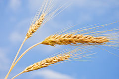 Wheat ears against the blue sky Stock Photography