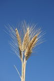 Wheat Ears against Clear Blue Sky Royalty Free Stock Photos