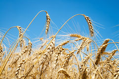 Wheat ears against sky Stock Image
