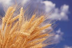 Wheat ears against sky Stock Photos