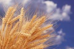 Wheat ears against sky. Wheat ears against the blue cloudy sky Stock Photos