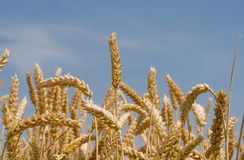 Wheat ears. Against the sky Royalty Free Stock Images