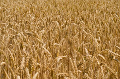 Wheat ears. Against the sky Royalty Free Stock Photography
