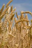 Wheat ears Stock Image