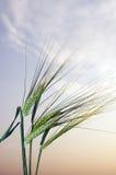 Wheat ears against a sunset sky Stock Photography