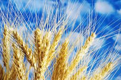 Free Wheat Ears Against The Blue Cl Royalty Free Stock Photos - 2296868