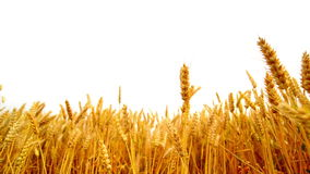 Wheat ears in the agricultural cultivated field over white background. stock video footage
