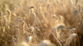 Wheat ears in Agricultural cultivated field. Stock Image
