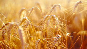 Wheat ears in Agricultural cultivated field stock footage