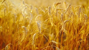 Wheat ears in Agricultural cultivated field Royalty Free Stock Photography