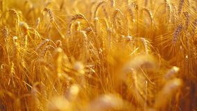 Wheat ears in Agricultural cultivated field Royalty Free Stock Photo