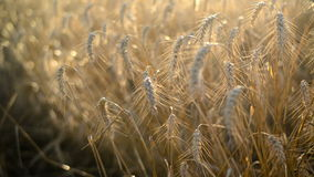 Wheat ears in Agricultural cultivated field Stock Photo
