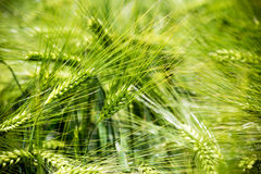Wheat ears of the arable land. Royalty Free Stock Photos