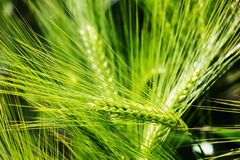 Wheat ears of the arable land. Stock Images