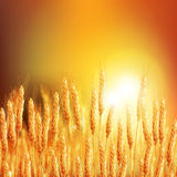 Wheat ears. Backdrop of ripening ears of yellow wheat field on the sunset. Background Copy space of setting sun rays on horizon in rural meadow Close up nature Stock Images