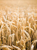 Wheat ears background. Wheat ears with limited depth of field Royalty Free Stock Images
