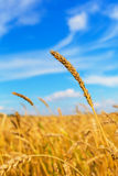 Wheat ears Stock Photography