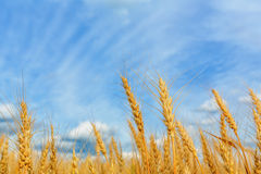 Wheat ears on a background of cloudy sky Royalty Free Stock Photos