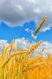 Wheat ears Stock Photos