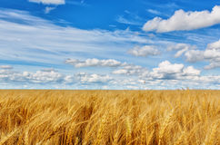 Wheat ears on a background of field and cloudy sky Royalty Free Stock Image