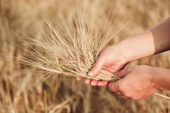 Wheat ears barley in the hand. Harvest agriculture summer concept. Woman hand with golden cereal Stock Images
