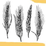 Wheat ears. Black and white color. Bakery sketch. Vintage vector hand drawn engraving illustration. Black and white color Royalty Free Stock Photos