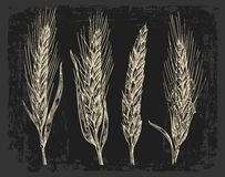 Wheat ears. Black and white color. Bakery sketch Royalty Free Stock Image