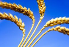 Wheat ears in a blue sky Stock Image
