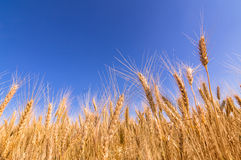 Wheat ears and blue sky. Stock Photo