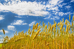 Wheat ears and blue sky Royalty Free Stock Images