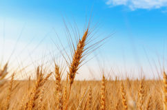 Wheat ears and blue sky Stock Image