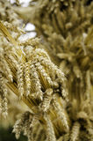 Wheat ears on blurred background. stock image