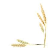 Wheat ears border. Wheat ears as a frame and border stock image