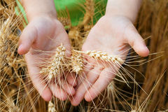 Wheat ears in the child hands Stock Images