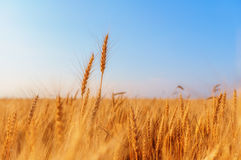 Wheat ears and clear sky Stock Photos