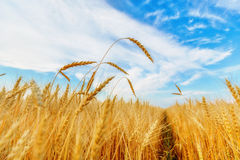 Wheat ears and clear sky Royalty Free Stock Image