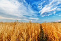 Wheat ears and clear sky Royalty Free Stock Photos